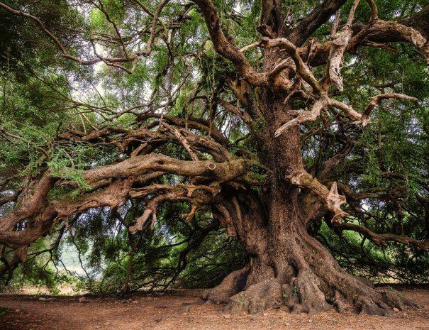 olive-tree-3579922_1280